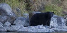 Healthy Black Bear - lots of salmon