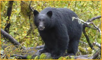 Big Black Bear Watching