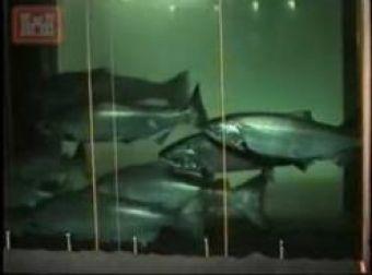 Bc fishing ucluelet barkley sound fishing report for Bonneville dam fish camera