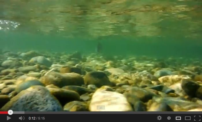 Stamp River Salmon Video