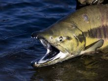 "Colourful ""Chum"" Salmon"